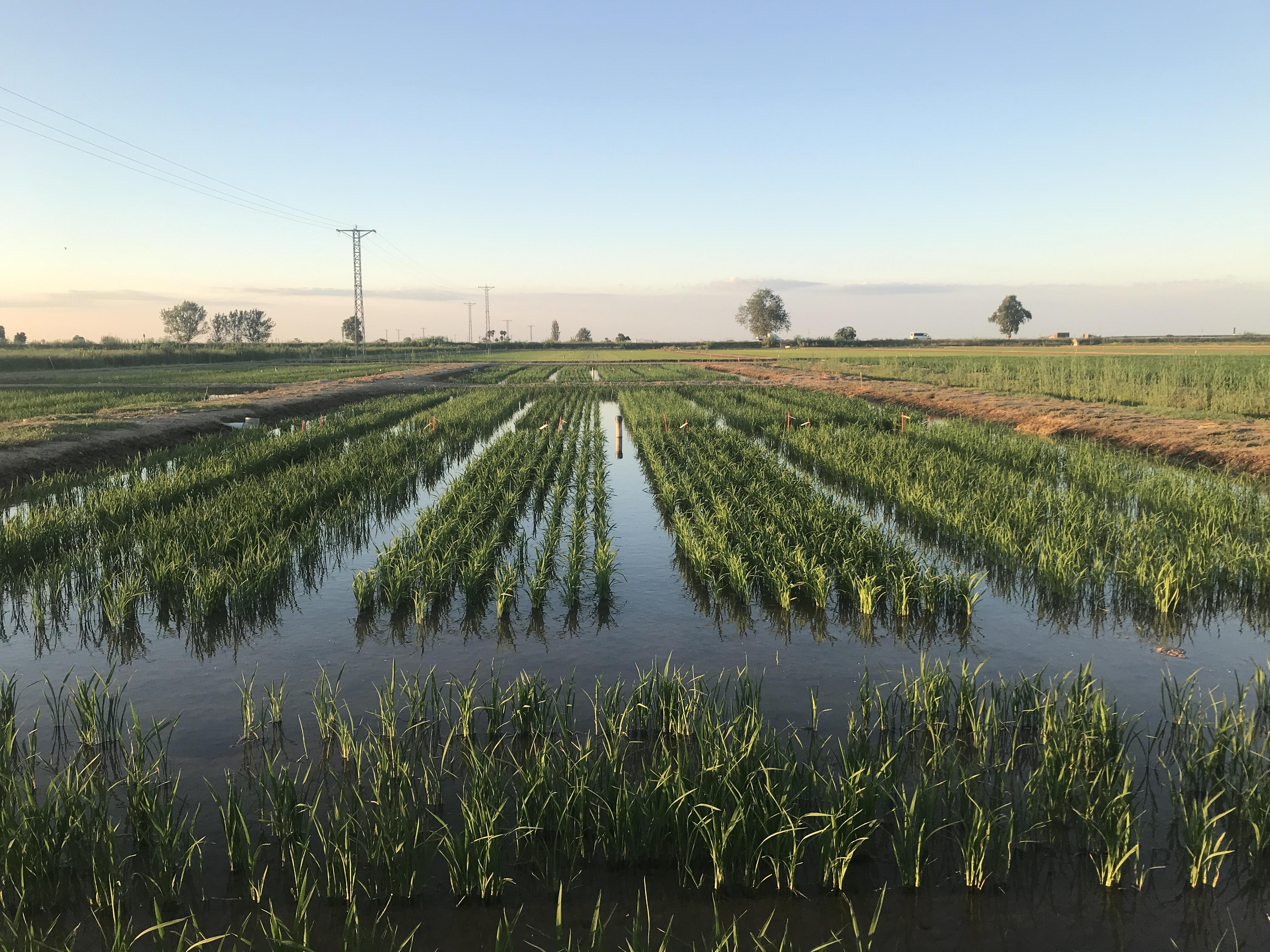 Вдъхновяваща агроиновация: Да направим отглеждането на ориз устойчиво на почвено засоляване