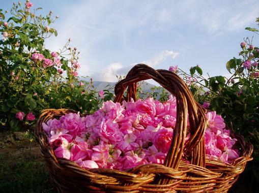 2- 20 август 2021: Прием на заявления по de minimis за преработка на розов цвят