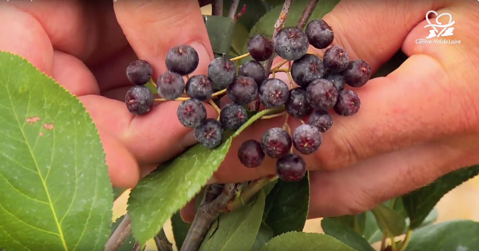 Вдъхновяваща идея от ЕПИ-АГРИ: Арония и други органични супер плодове в Център-Вал де Лоара