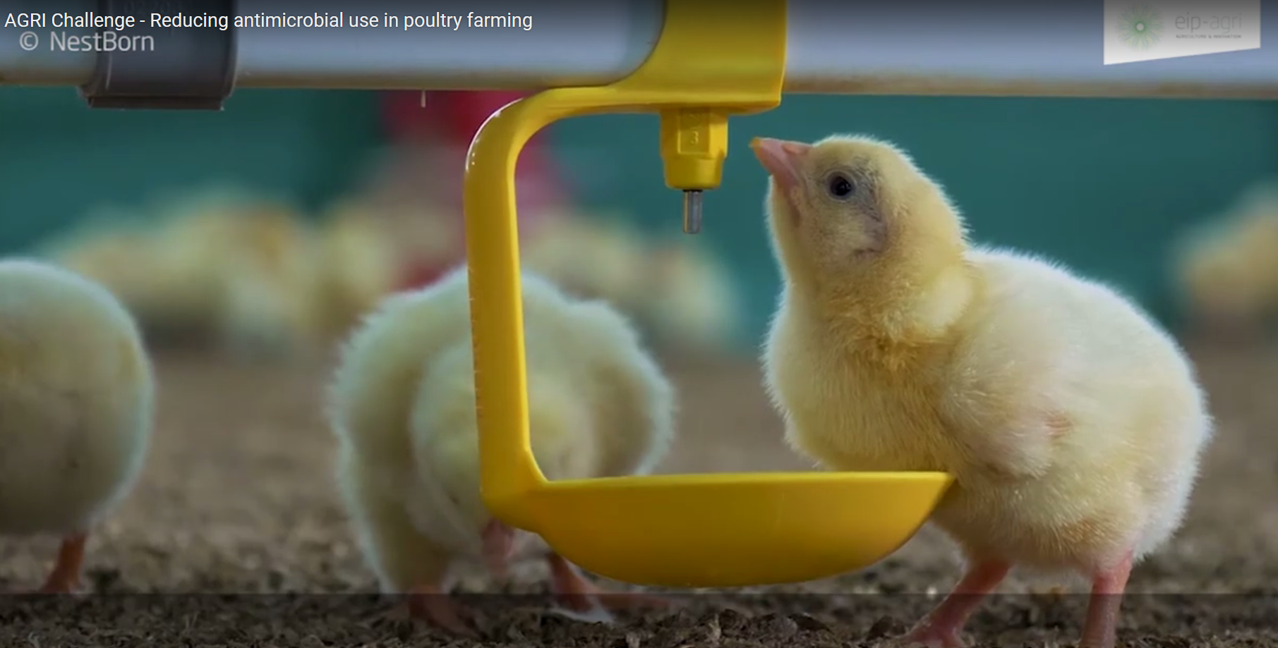 Вдъхновяваща идея от ЕПИ АГРИ: Излюпването във фермата подобрява благосъстоянието и здравето на пилетата бройлери