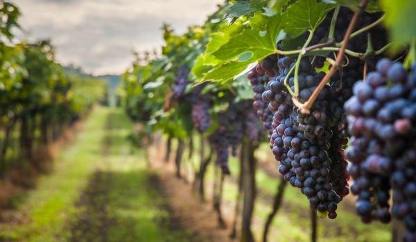 Публикувана е ревизирана версия на Национална програма заподпомагане на лозаро-винарския сектор 2019-2023