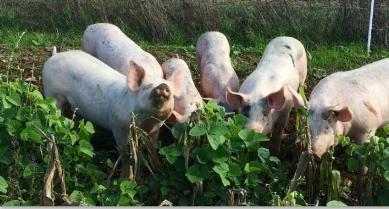 Вдъхновяваща идея от ЕПИ-АГРИ: Приносът на богатите на протеин фуражи за подобряване качеството на свинското месо