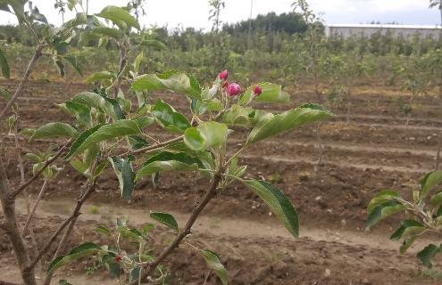 Иновативна и ефективна употреба на спринклерни системи срещу измръзванията в ябълкова градина