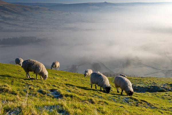 Вдъхновяваща идея от ЕПИ-АГРИ: Иновативен подход за лечение на болестите при планинските овце